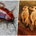 El Paso Zoo allows you to name a cockroach after your ex then feed it to a meerkat on Valentine's Day